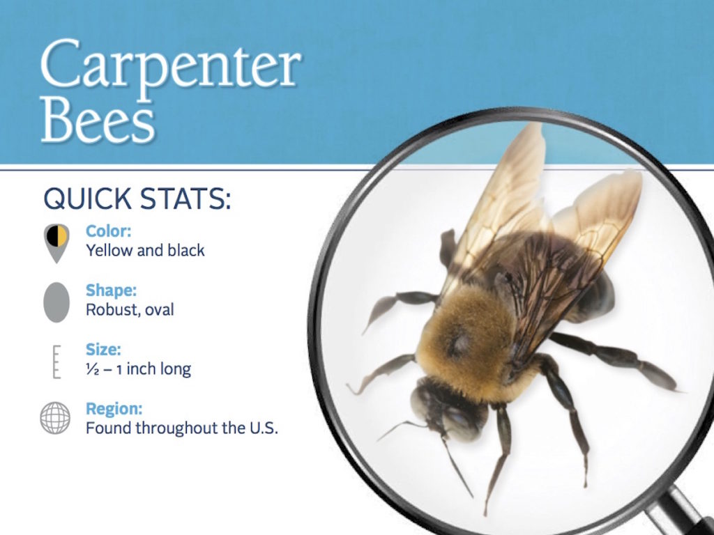 carpenter bee id